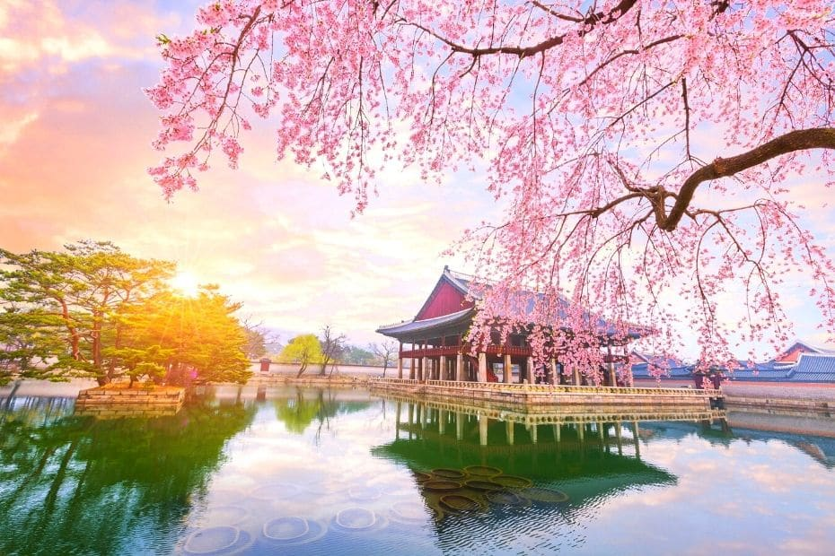 Cherry blossoms at Gyeongbokgung Palace are a unique Korean experience