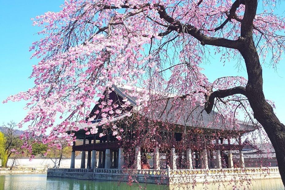 Cherry blossoms at Gyeongbokgung Palace, Seoul, Korea