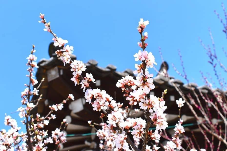 Spring blossoms with a traditional Korean hanok building