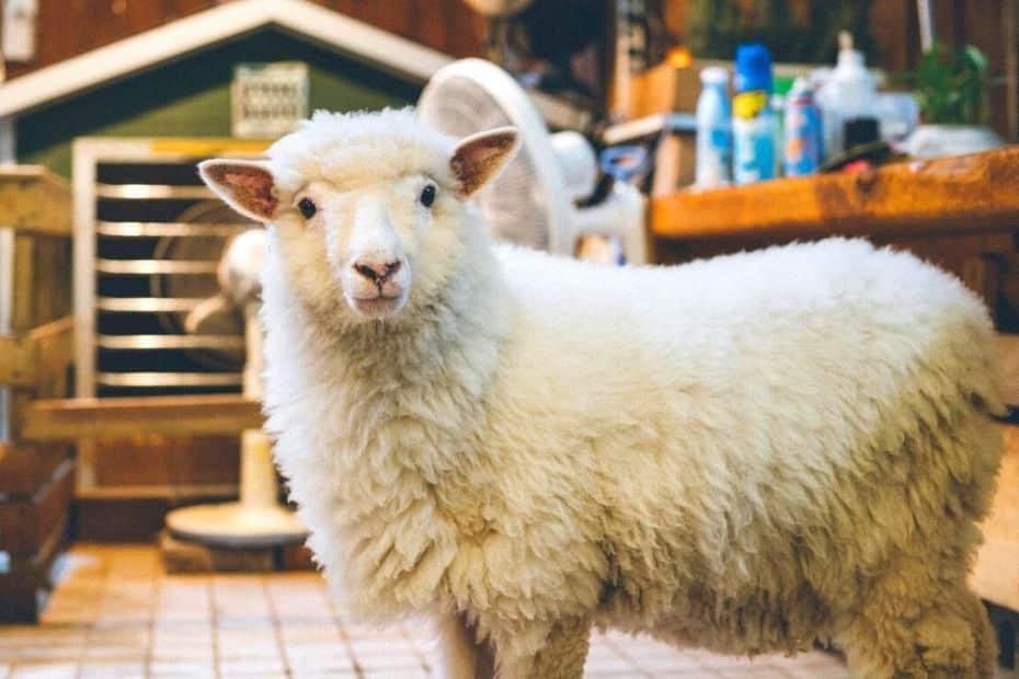 Thanks Nature Sheep Cafe in Hongdae