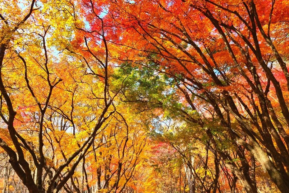 Maple Tree Tunnel at Naejangsan National Park