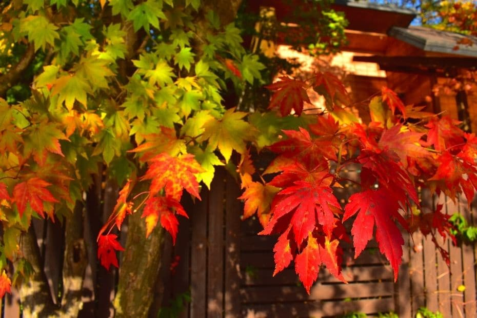 Colourful autumn leaves on Nami Island, Korea