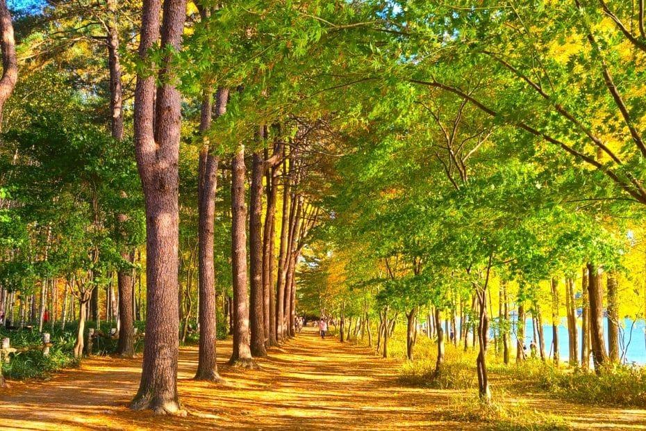 Tree lined street at Nami Island, Gapyeong