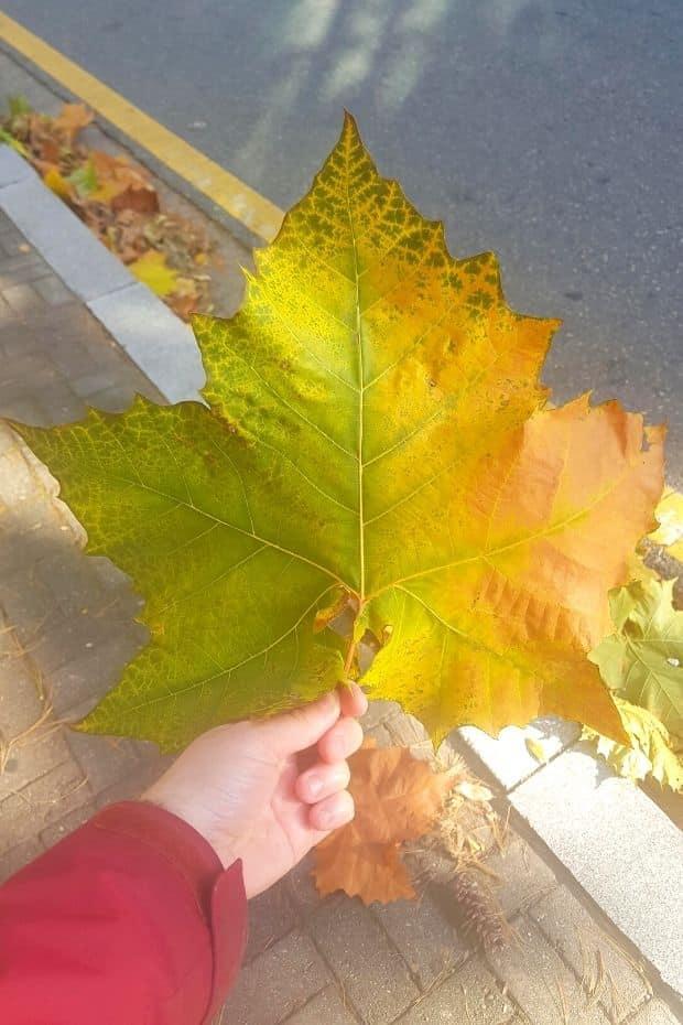 Giant leaf in Korea