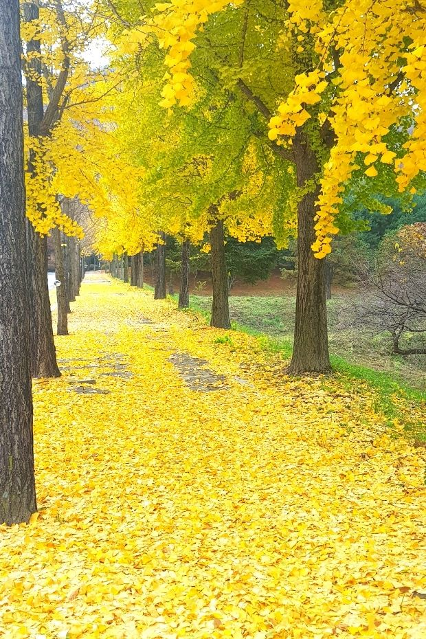 Yellow ginkgo leaves on the street in Korea