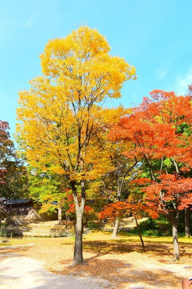Autumn leaves in the Secret Garden in Changdeokgung Palace, Seoul
