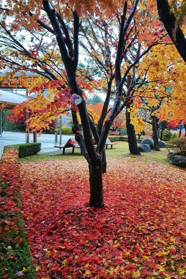 Maples leaves on the ground in Daejeon