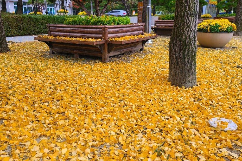Yellow ginkgo leaves on the street in Daejeon, Korea