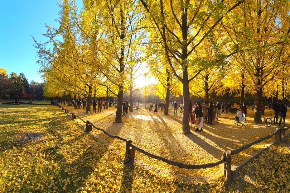 Yellow ginkgo trees at Nami Island, Korea