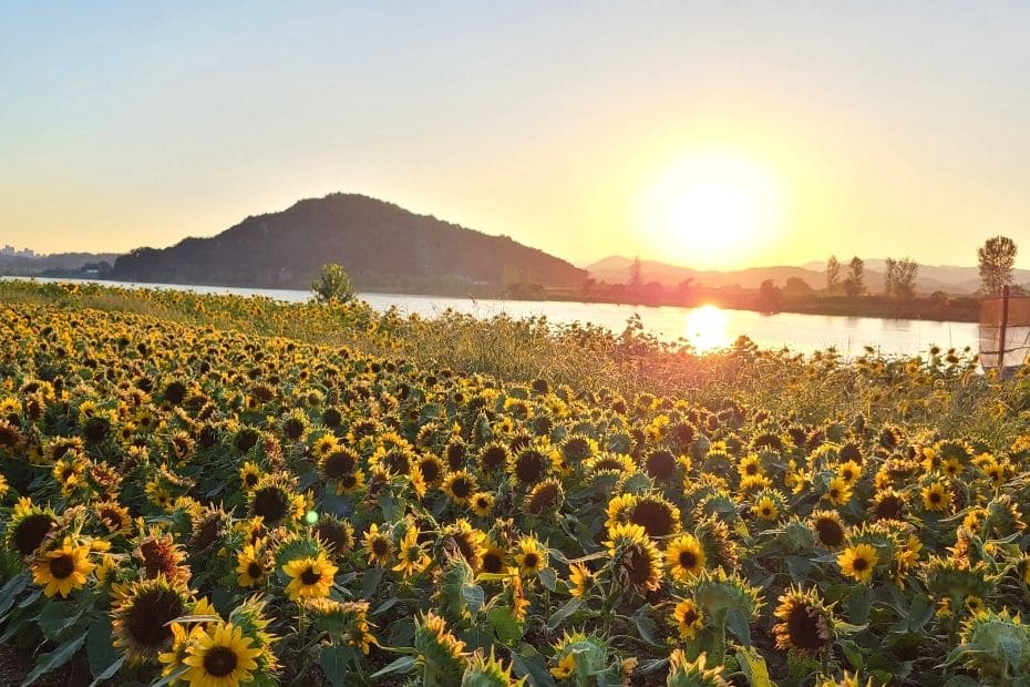 Sunflowers and sunset over the Baegmagang River in Buyeo